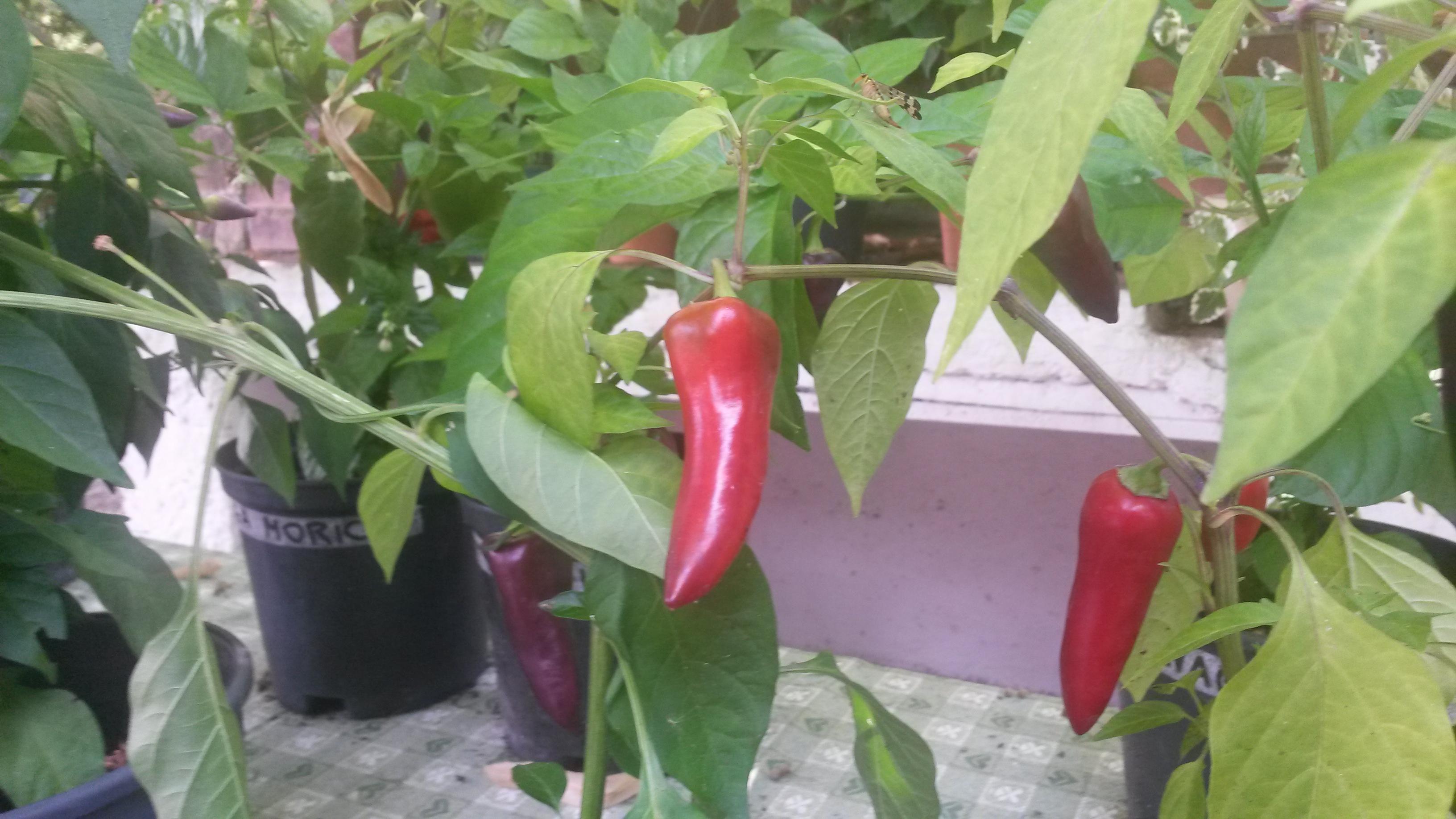 Piante di peperoncino in piena maturazione sconti for Acquisto piante peperoncino